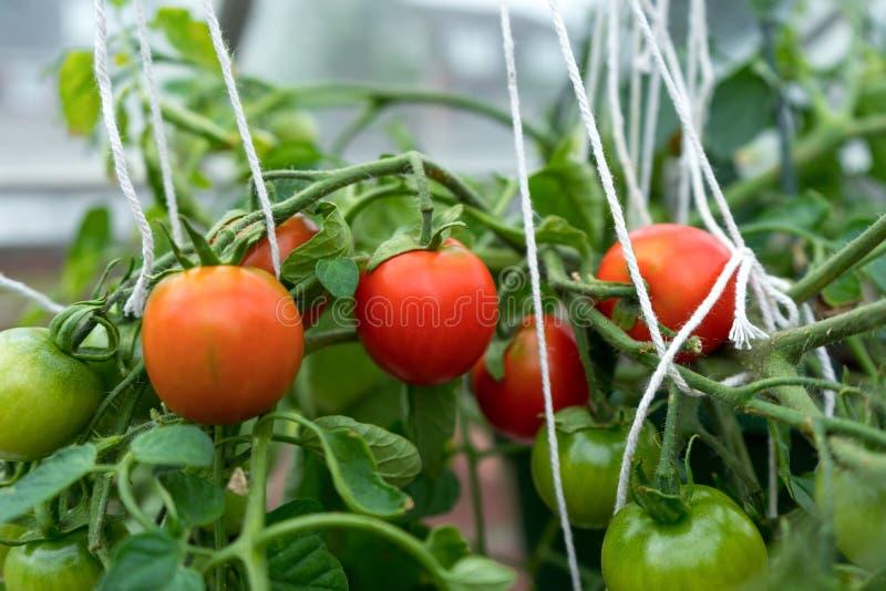 Κόκκινες και πράσινες ντομάτες ανατροπέων που ωριμάζουν στο θάμνο σε ένα θερμοκήπιο στοκ φωτογραφία με δικαίωμα ελεύθερης χρήσης