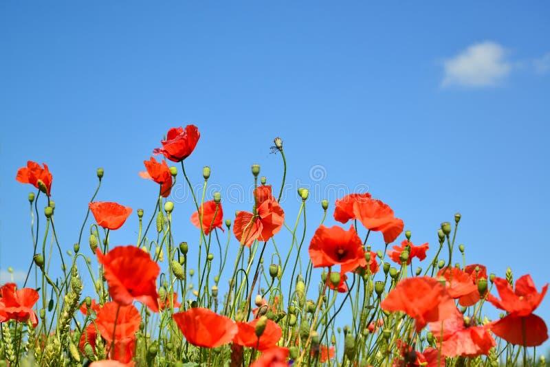 Κόκκινες παπαρούνες ενάντια στο μπλε ουρανό στοκ εικόνες με δικαίωμα ελεύθερης χρήσης