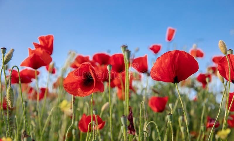 Κόκκινες παπαρούνες ενάντια στο χρόνο μπλε ουρανού την άνοιξη στοκ εικόνα