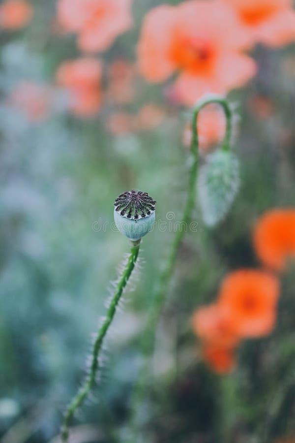 Κόκκινες παπαρούνες Κεφάλια λουλουδιών παπαρουνών στοκ φωτογραφία