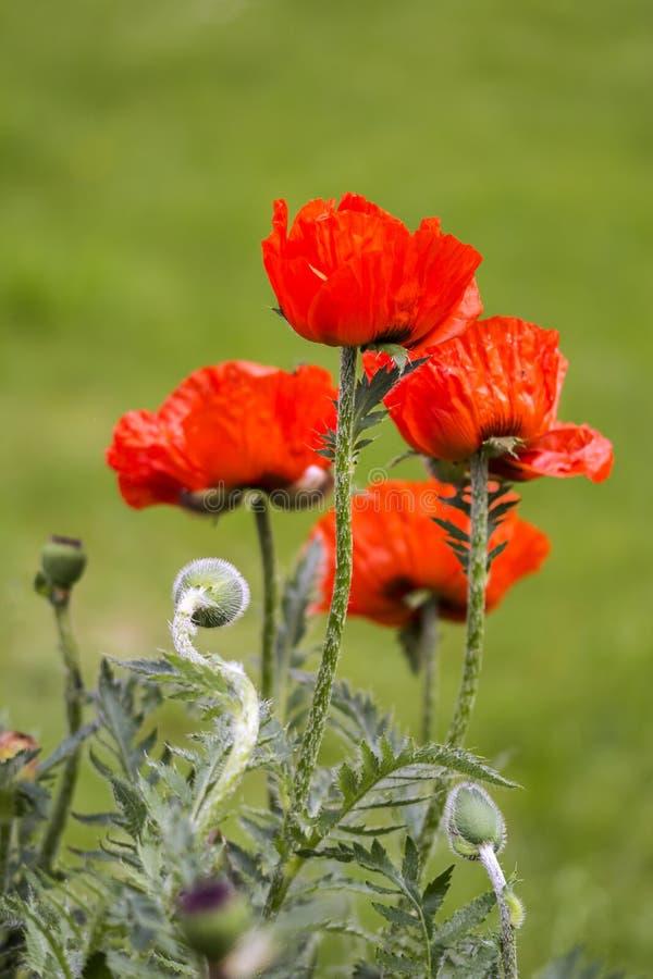 Κόκκινες παπαρούνες Papaveraceae στοκ φωτογραφίες