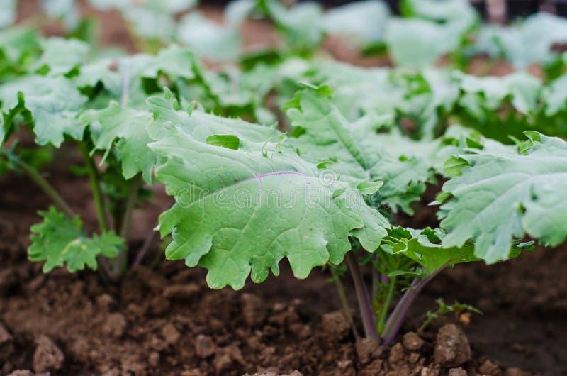 «Κόκκινες ρωσικές» εγκαταστάσεις του Kale στοκ φωτογραφία με δικαίωμα ελεύθερης χρήσης