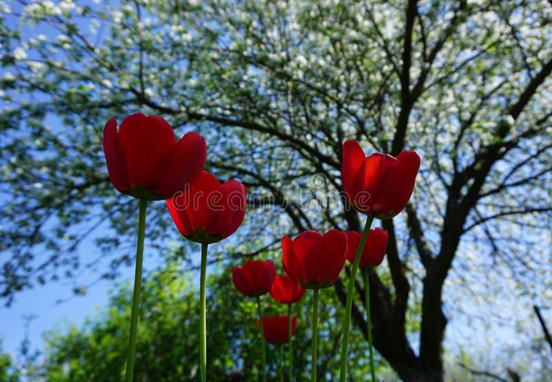 κόκκινες τουλίπες ήλιων στοκ εικόνα με δικαίωμα ελεύθερης χρήσης