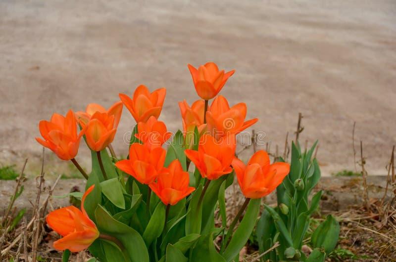 κόκκινες τουλίπες κήπων στοκ φωτογραφία με δικαίωμα ελεύθερης χρήσης