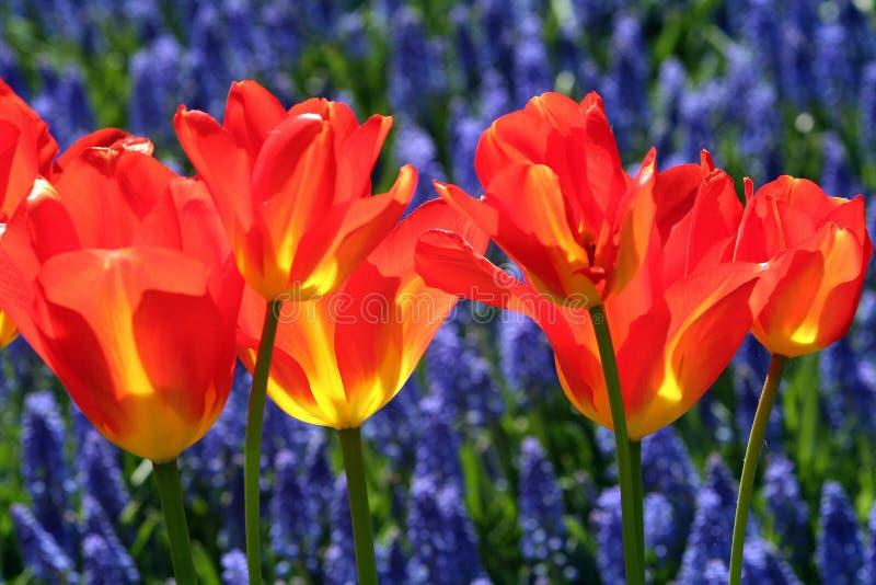 κόκκινες τουλίπες κήπων στοκ φωτογραφίες