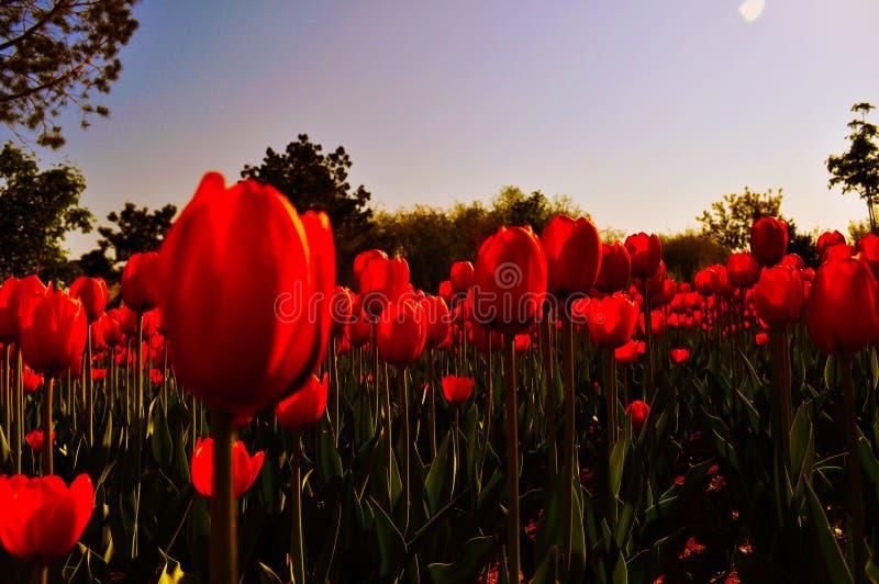 Κόκκινες τουλίπες που αντιμετωπίζουν τον ήλιο στοκ φωτογραφία με δικαίωμα ελεύθερης χρήσης