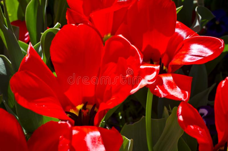 Κόκκινες τουλίπες που ενυδατώνουν επάνω το θερινό ήλιο στοκ φωτογραφίες