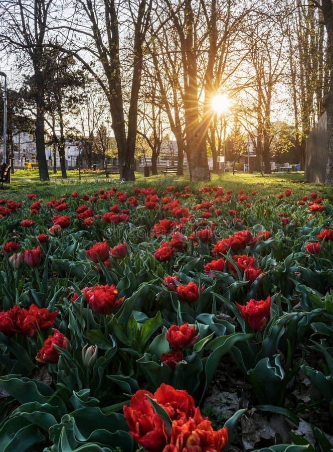 Κόκκινες τουλίπες στην εποχή υποβάθρου ηλιοβασιλέματος την άνοιξη στοκ εικόνες με δικαίωμα ελεύθερης χρήσης