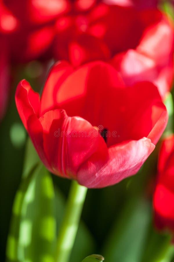 Κόκκινες τουλίπες στον ήλιο στοκ εικόνες με δικαίωμα ελεύθερης χρήσης