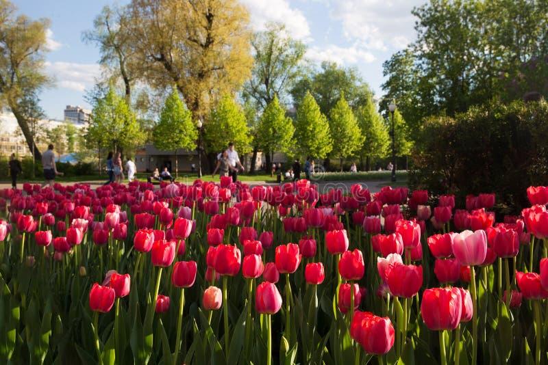 Κόκκινες τουλίπες στο πάρκο στοκ εικόνες