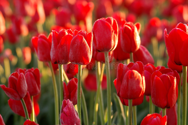 κόκκινες τουλίπες στοκ φωτογραφία με δικαίωμα ελεύθερης χρήσης