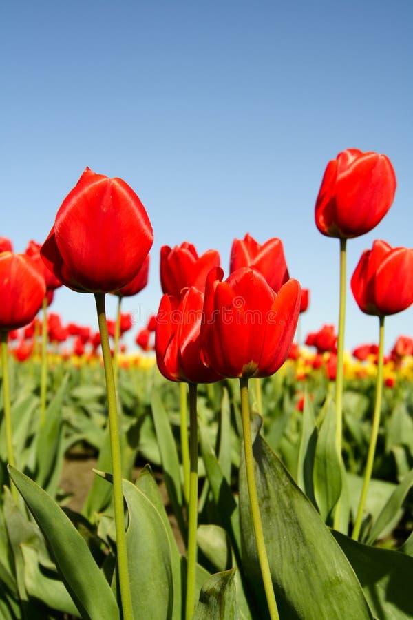Download κόκκινες τουλίπες στοκ εικόνα. εικόνα από anglia, καλοκαίρι - 1547001