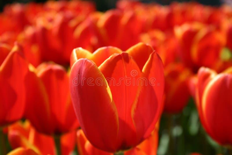 Download κόκκινες τουλίπες στοκ εικόνα. εικόνα από λουλούδι, κήπος - 88965