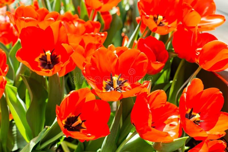 κόκκινες τουλίπες λουλουδιών στοκ εικόνες με δικαίωμα ελεύθερης χρήσης