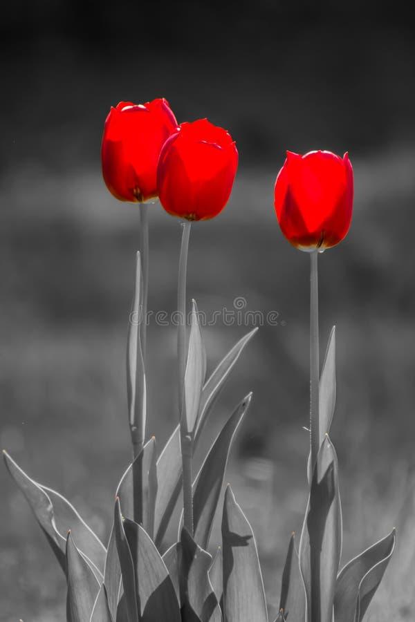 κόκκινες τρεις τουλίπε& στοκ φωτογραφία με δικαίωμα ελεύθερης χρήσης