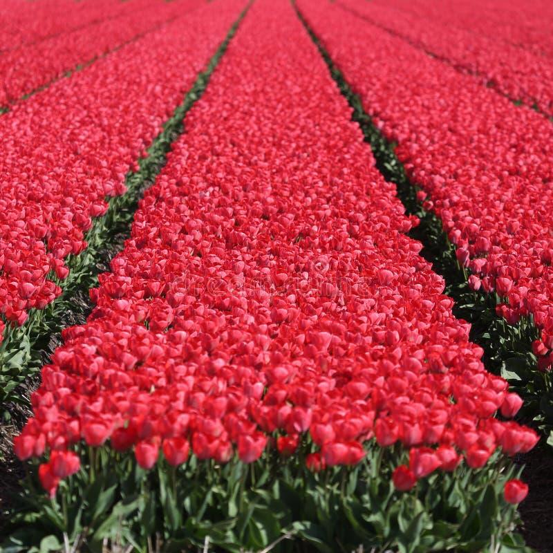 Κόκκινη άνθιση λουλουδιών τουλιπών τομέων λουλουδιών τουλιπών άνοιξη στοκ φωτογραφίες με δικαίωμα ελεύθερης χρήσης