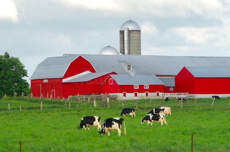 Κόκκινη αγροτική σιταποθήκη με τις αγελάδες στοκ φωτογραφίες