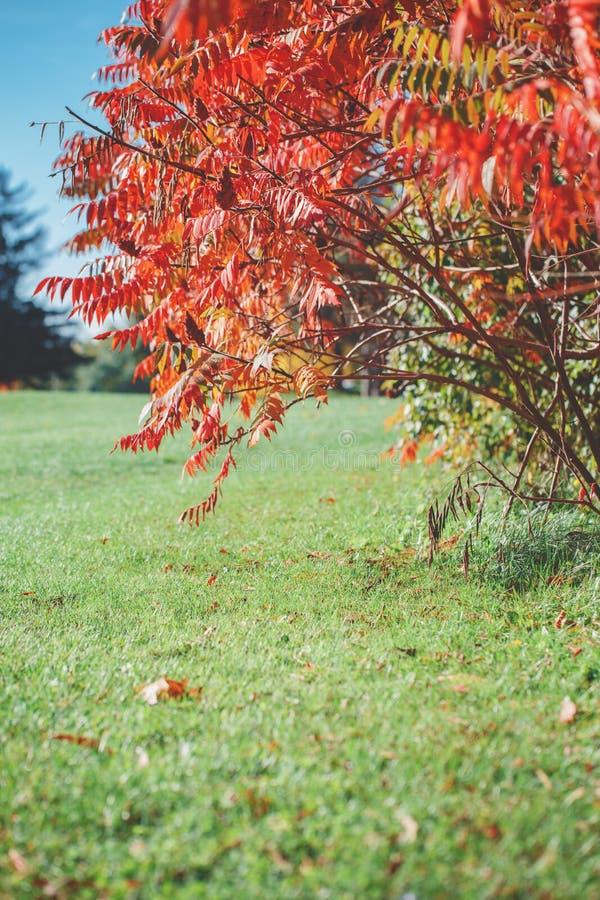 Κόκκινη ακακία δέντρων πτώσης φθινοπώρου στον πράσινο τομέα λιβαδιών την ηλιόλουστη ημέρα, μπλε ουρανός στοκ εικόνες