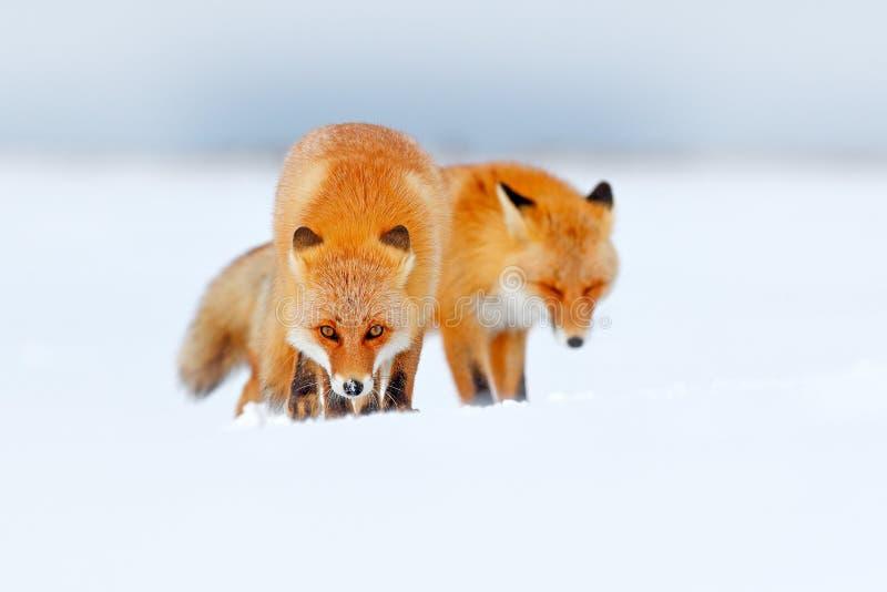 Κόκκινη αλεπού δύο στο άσπρο χιόνι Κρύος χειμώνας με την πορτοκαλιά αλεπού γουνών Κυνήγι του ζώου στο χιονώδες λιβάδι, Ιαπωνία Όμ στοκ φωτογραφίες