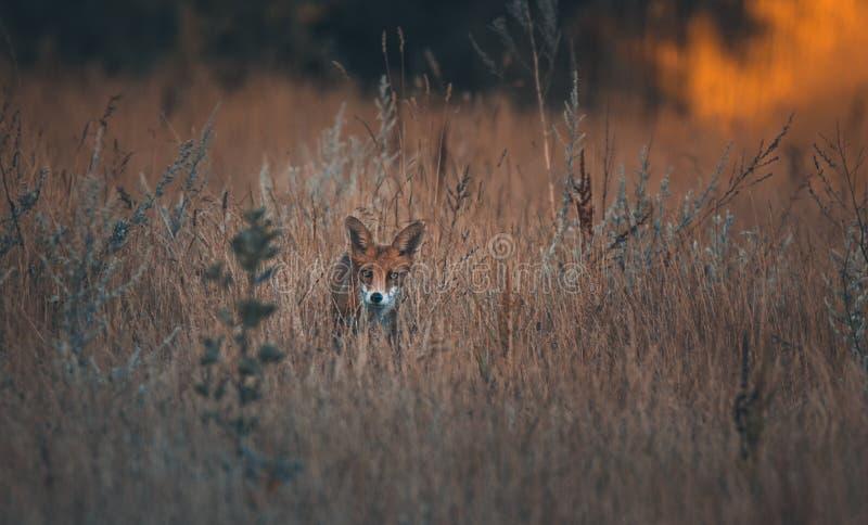 Κόκκινη αλεπού στη χλόη στην ανατολή στοκ εικόνα με δικαίωμα ελεύθερης χρήσης