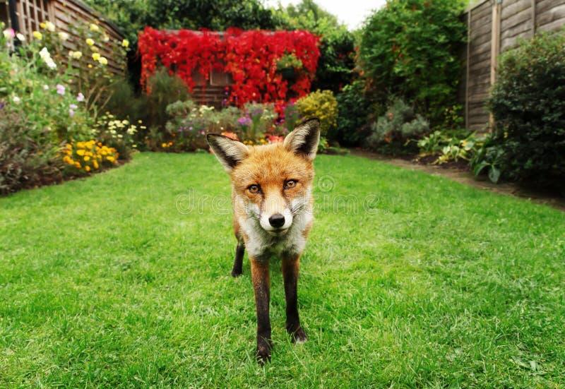 Κόκκινη αλεπού στον κήπο με τα λουλούδια στοκ εικόνα