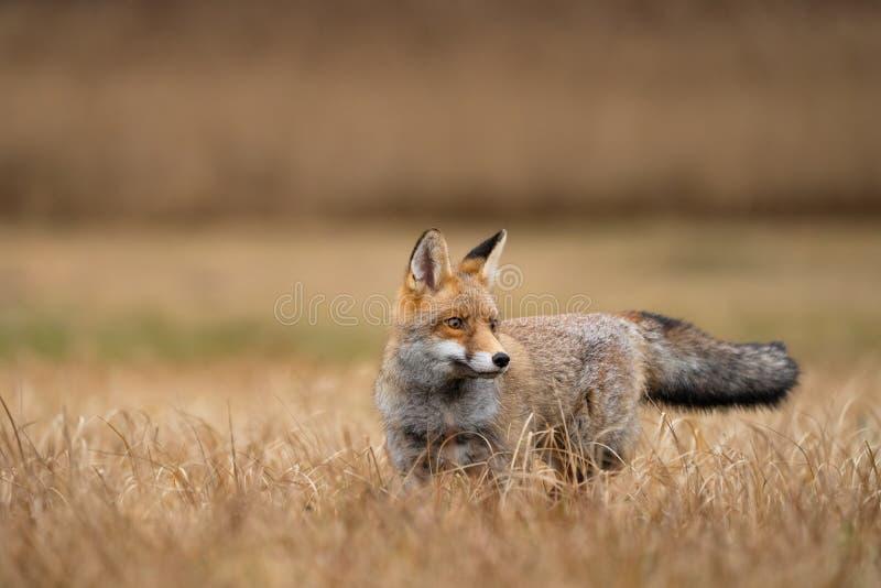 Κόκκινη αλεπού στο κίτρινο γρασίδι Περίεργο ζώο Αιδοίο στοκ φωτογραφία με δικαίωμα ελεύθερης χρήσης