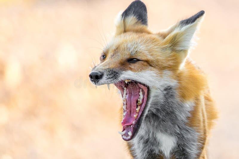 Κόκκινη αλεπού που παρουσιάζει δόντια - ζωική φωτογραφία άγριας φύσης στοκ φωτογραφία με δικαίωμα ελεύθερης χρήσης
