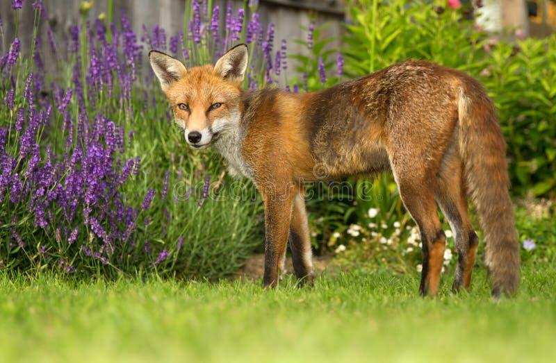 Κόκκινη αλεπού στον κήπο στοκ εικόνα
