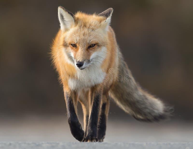Κόκκινη αλεπού στοκ εικόνες