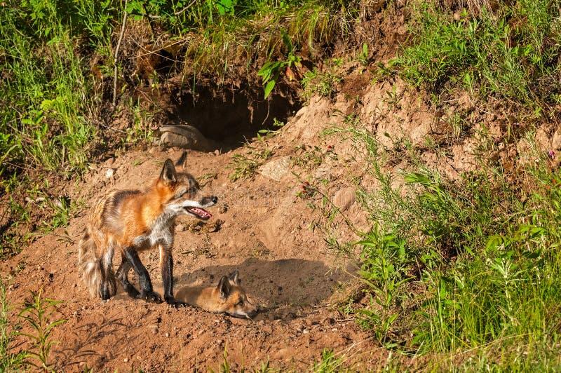 Κόκκινη αλεπού Vixen (Vulpes vulpes) και εξάρτηση κοντά στο κρησφύγετο στοκ εικόνες