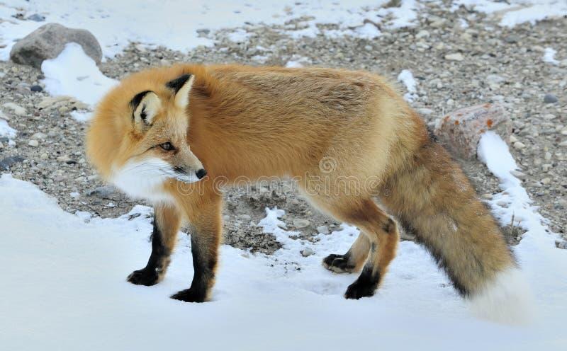 Κόκκινη αλεπού, Vulpes vulpes έναν χειμώνα στοκ φωτογραφία με δικαίωμα ελεύθερης χρήσης