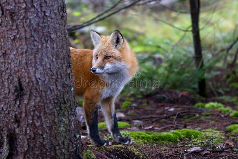 Κόκκινη αλεπού Vulpes vulpes Algonquin στο πάρκο στοκ εικόνες