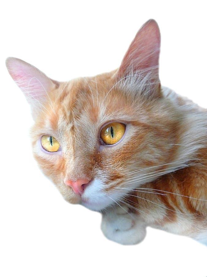 Κόκκινη γάτα κατοικίδιων ζώων στοκ εικόνα με δικαίωμα ελεύθερης χρήσης