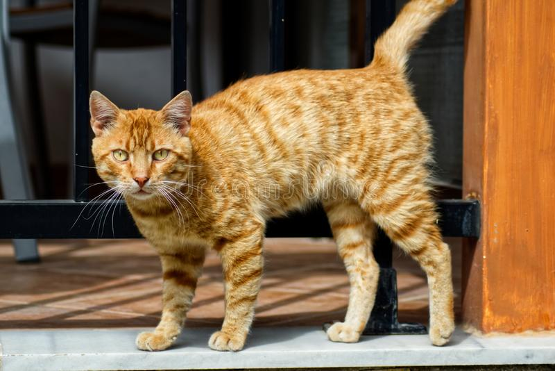 Κόκκινη γάτα οδών στο πεζούλι στοκ φωτογραφία με δικαίωμα ελεύθερης χρήσης