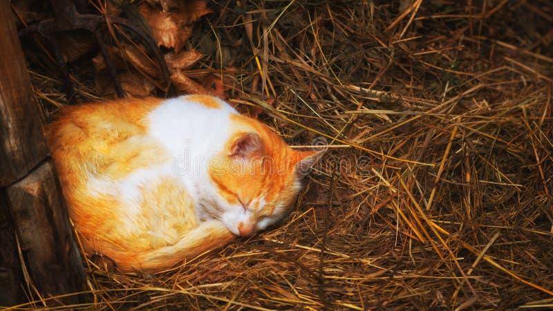 Κόκκινη γάτα που κοιμάται στο σανό Κοντινό στοκ φωτογραφίες με δικαίωμα ελεύθερης χρήσης