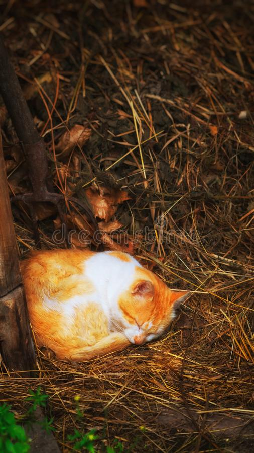 Κόκκινη γάτα που κοιμάται στο σανό στοκ εικόνα