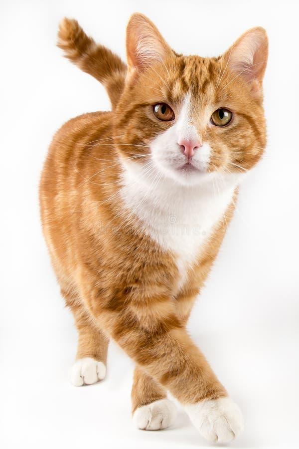 Κόκκινη γάτα, που περπατά προς τη κάμερα, που απομονώνεται στο λευκό στοκ φωτογραφία