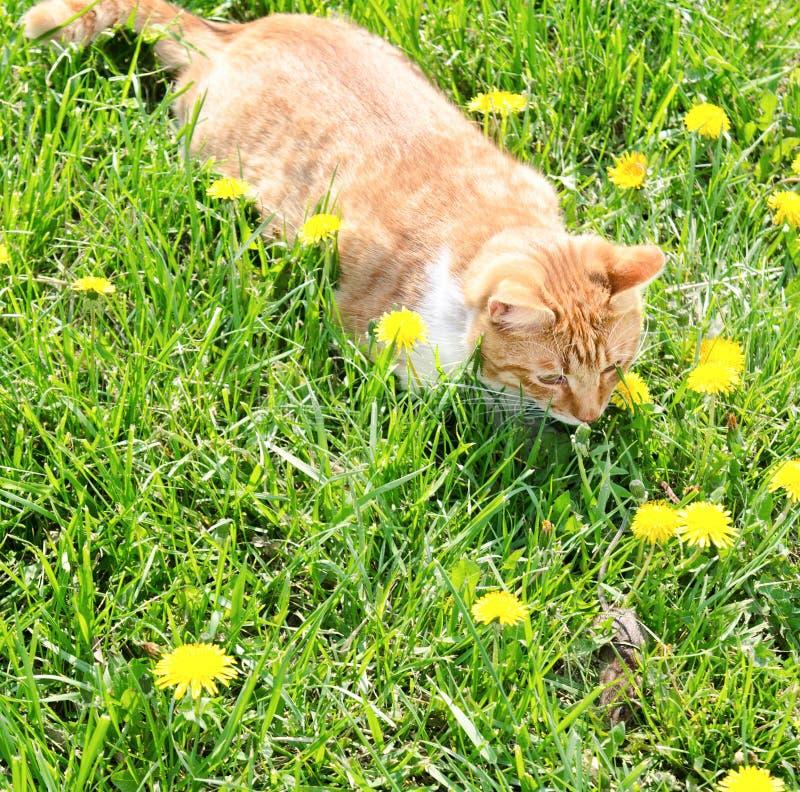 Κόκκινη γάτα που πιάνει το ποντίκι στη χλόη στοκ εικόνες με δικαίωμα ελεύθερης χρήσης