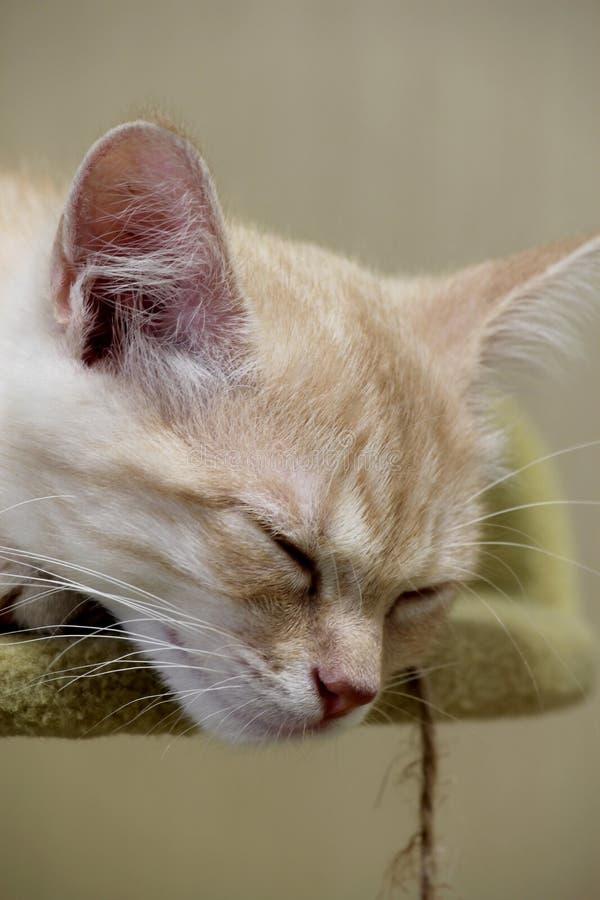 Κόκκινη γάτα, γάτα ροδάκινων, χαριτωμένο γατάκι στοκ εικόνες με δικαίωμα ελεύθερης χρήσης