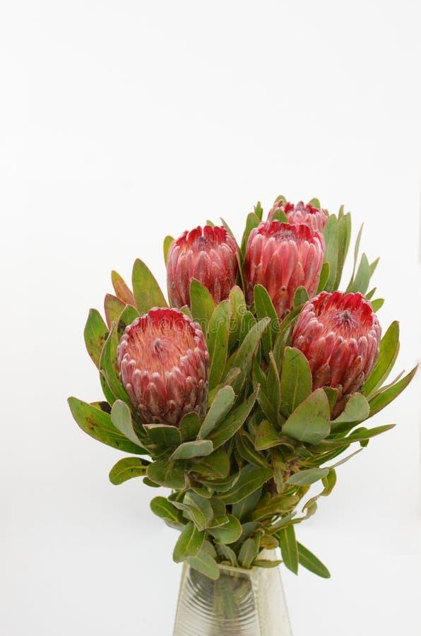 Κόκκινη δέσμη λουλουδιών protea σε ένα απομονωμένο λευκό υπόβαθρο στοκ φωτογραφία