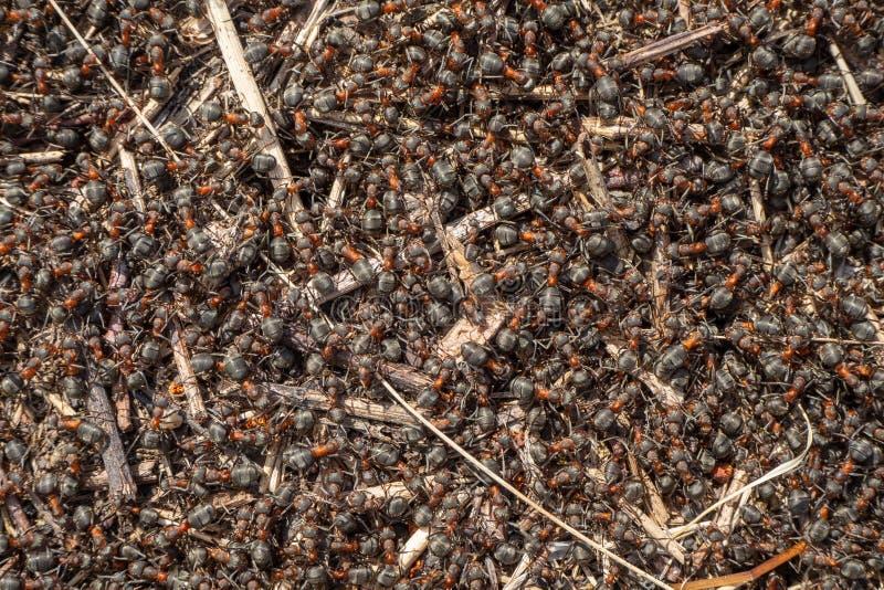 Κόκκινη, δασική κινηματογράφηση σε πρώτο πλάνο μυρμηγκιών στοκ εικόνες