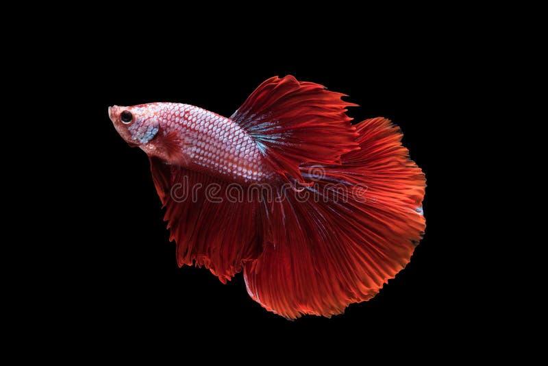 Κόκκινη ημισέληνος Betta splendens ή σιαμέζα ψάρια πάλης στοκ εικόνες