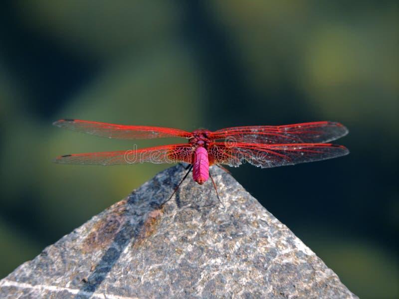 Κόκκινη λιβελλούλη σε στάση το καλοκαίρι στοκ εικόνες με δικαίωμα ελεύθερης χρήσης
