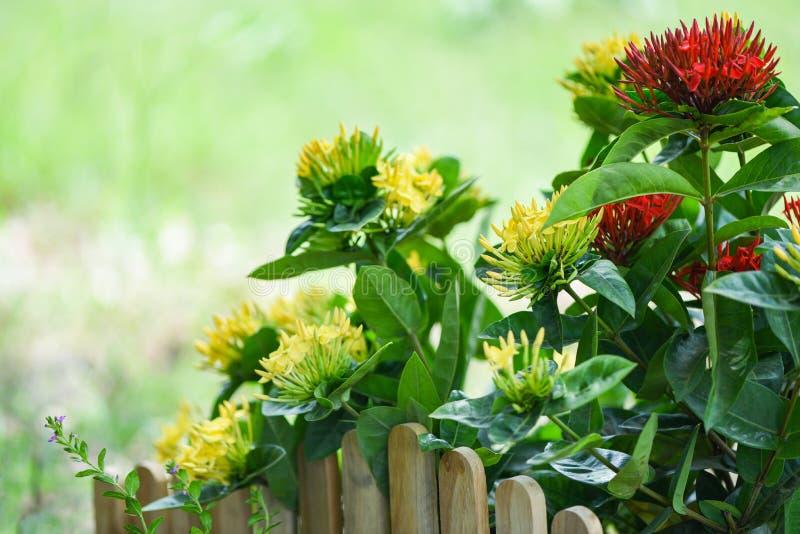Κόκκινη και κίτρινη άνθιση λουλουδιών Ixora στο πράσινο υπόβαθρο φύσης κήπων όμορφο στοκ φωτογραφία