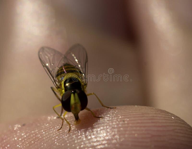 Κόκκινη και κίτρινη μύγα ή μέλισσα στοκ φωτογραφίες με δικαίωμα ελεύθερης χρήσης