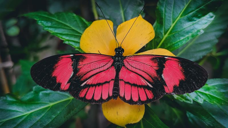 Κόκκινη και μαύρη πεταλούδα στο κίτρινο λουλούδι στοκ εικόνα με δικαίωμα ελεύθερης χρήσης