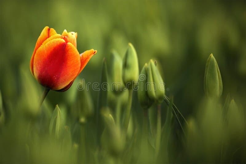 Κόκκινη και πορτοκαλιά άνθιση τουλιπών, κόκκινος όμορφος χρόνος τομέων τουλιπών την άνοιξη με το φως του ήλιου, floral υπόβαθρο,  στοκ φωτογραφίες