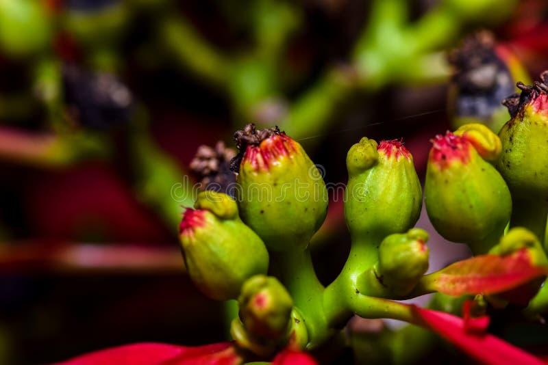 Κόκκινη και πράσινη κινηματογράφηση σε πρώτο πλάνο εγκαταστάσεων Poinsettia στοκ εικόνες