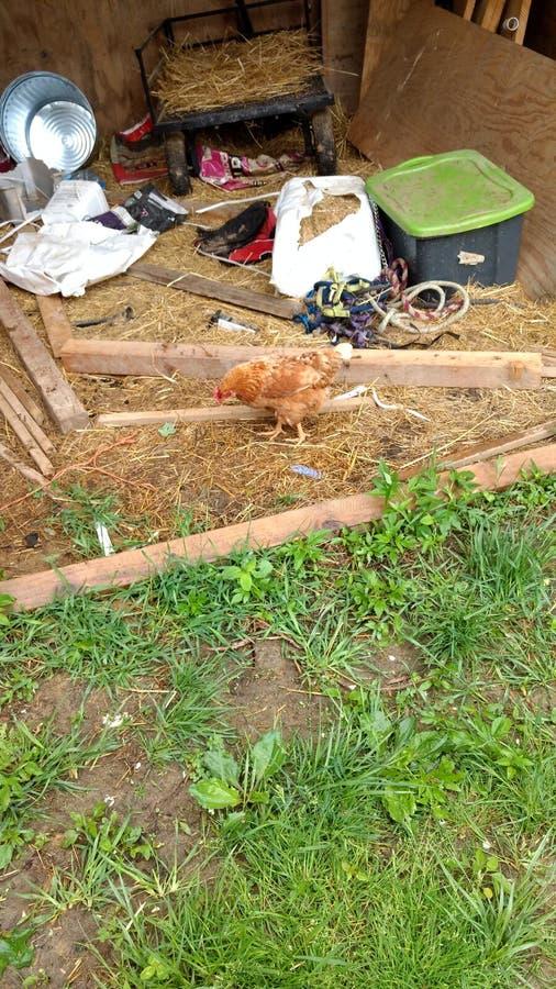 Κόκκινη κότα σε ένα υπόστεγο στοκ φωτογραφία με δικαίωμα ελεύθερης χρήσης