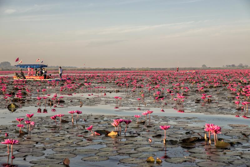 Κόκκινη λίμνη Lotus σε Han Kumphawapi σε Udonthani, Ταϊλάνδη στοκ εικόνες
